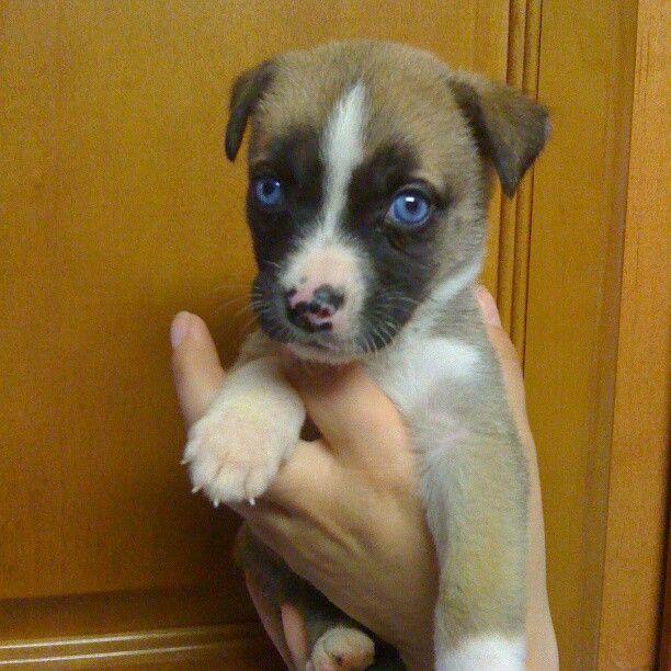 Jessica Georgia, Husky/Boxer mix   I want a puppy!!!   Pinterest