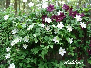 Silver Star Vinery clematis - Huldine   Garden   Pinterest