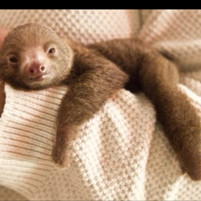 baby two toed sloth - photo #5