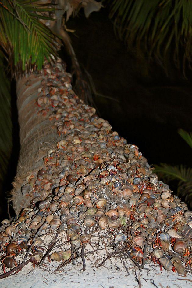 Crabs climbing tree on a beach