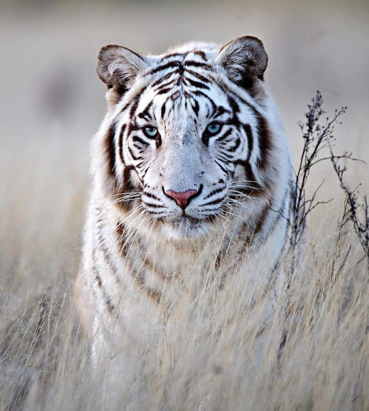 White Siberian Tiger  Some day I ll own a pet Siberian tiger    White Siberian Tiger Eyes