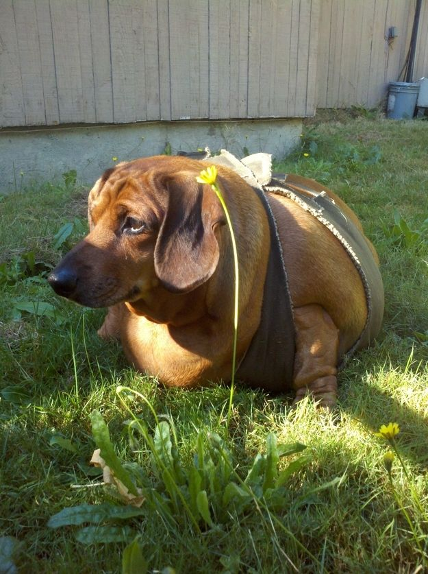 World S Fattest Wiener Dog