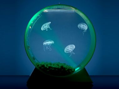Pet jellyfish i want it things i love pinterest for Pet jelly fish