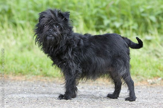 Affenpinscher | Dog Breeds | Pinterest