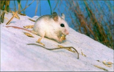 Oil spill restoration project would restore dunes that serve as habitat for the Alabama beach mouse