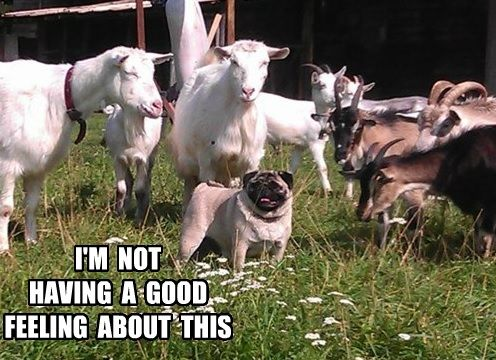 Pug with Goats