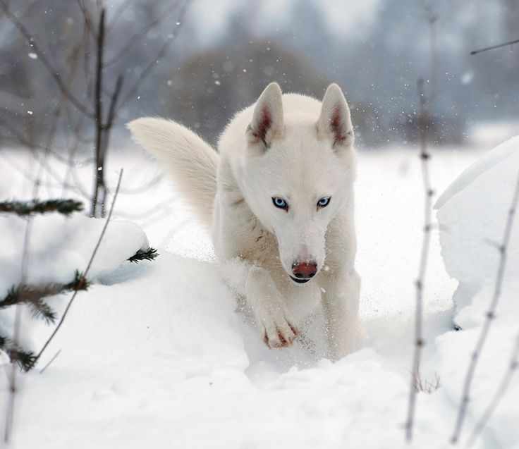 ... !) Braving the Tundra (Sled Dog RP. Semi-Advanced) - Chicken Smoothie
