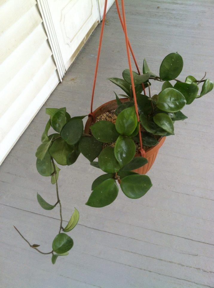 Verzorging hoya kamerplant  Tuinadvies