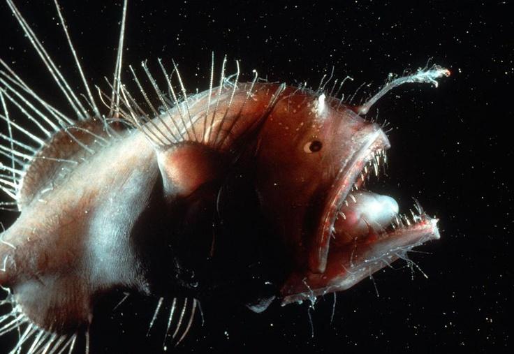 Angler fish deep sea deep sea pinterest for What is an angler fish