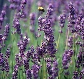 French Lavender Essential Oil | Oils & baths | Pinterest