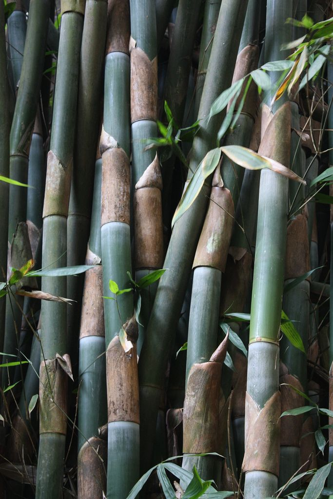 bamboo branches.