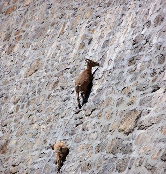 Alpine goat - Wikipedia