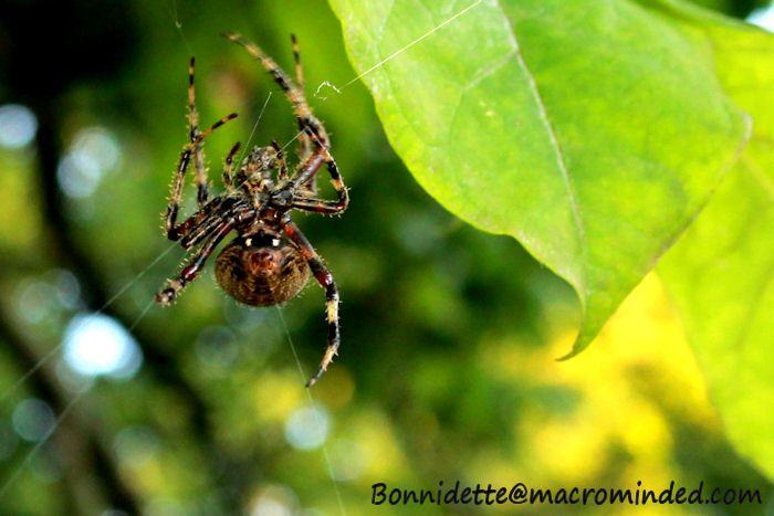 Spider Macro Photogr