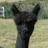 how to card alpaca fiber