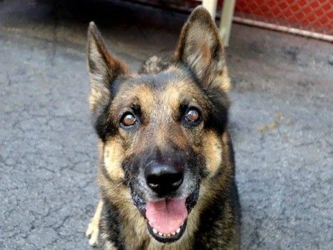 Ice Cream: German shepherd no one has come to rescue at NY high kill ...