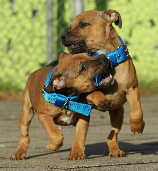Le Staffordshire Bull Terrier : le staffie Ae93501ba281c7f1e8edfa440c81b9f0
