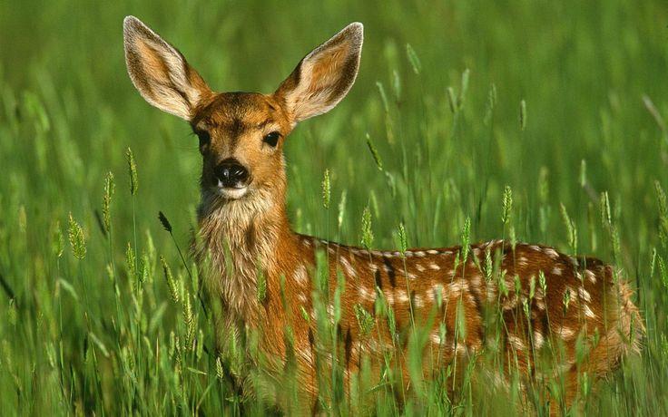 deer | ... , animal wallpapes , deer wallpaper , deer wallpapers , wallpapers