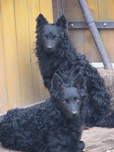 beautiful and rare, the Mudi dog. | pets | Pinterest