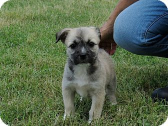 Pin by Heidi Wurpel on Things I Kind-of Want   Pinterest Brussels Griffon And Pug Mix