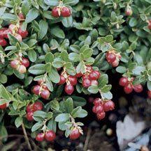 Lingonberry Vaccinium Vitis-idaea | Garden - Fruit - Home Orchard |…