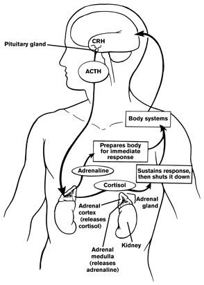 The pathway for cortisol release.  The causes for the hypothalamus to send the first message? Physical stress, emotional stress, hypoglycemia, cold response and pain.  hypothalamus crh release - Google Search