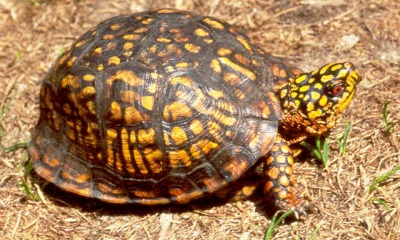 Caring for Your Box Turtle Ideas Pinterest