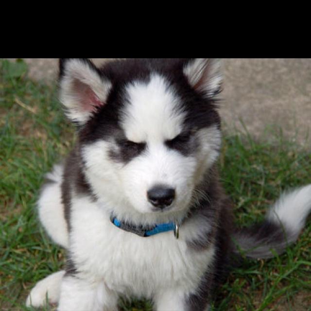Pin pomeranian husky mix puppies for sale on pinterest