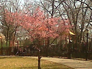 The first flowering tree in bloom!