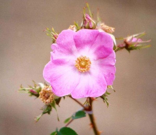 Rosa mãe | FLORA | Pinterest