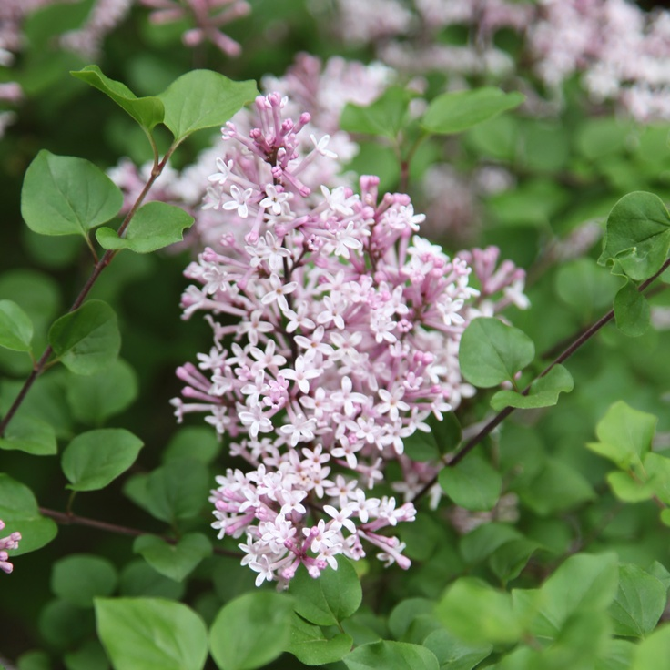 how to make a lilac bush bloom