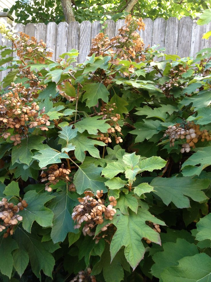 Fall color for Oakleaf HydrangeaOakleaf Hydrangea Fall Color