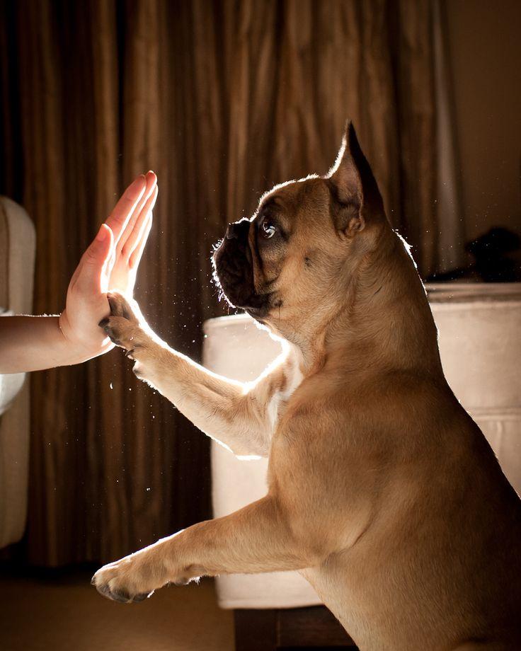 french bulldog high-five