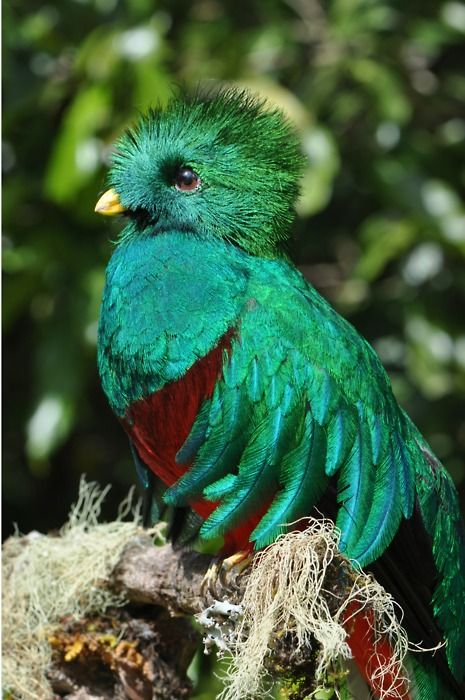 Quetzal bird  .Guatemalas national bird .