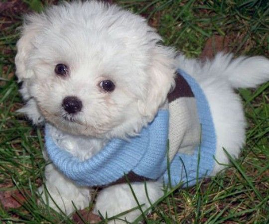 Cute Puppy with a Sweater - Puppy Toob   Puppies   Pinterest