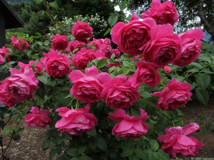 rose called grand dame roses rosa pinterest. Black Bedroom Furniture Sets. Home Design Ideas