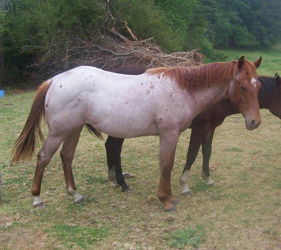 Red Roan Paint