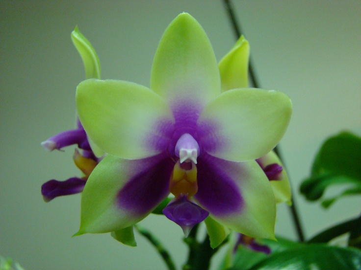 phalaenopsis orchid orchidee pinterest. Black Bedroom Furniture Sets. Home Design Ideas