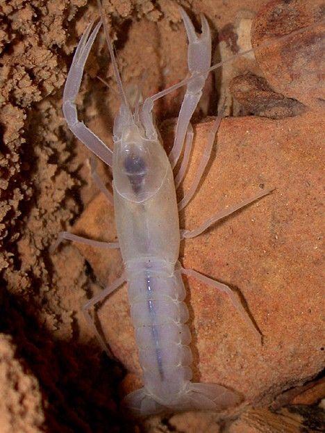 Transparent Cave Crayfish