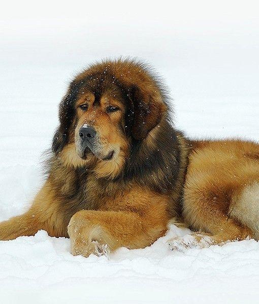 Best Ideas About Tibetan Mastiff On Pinterest