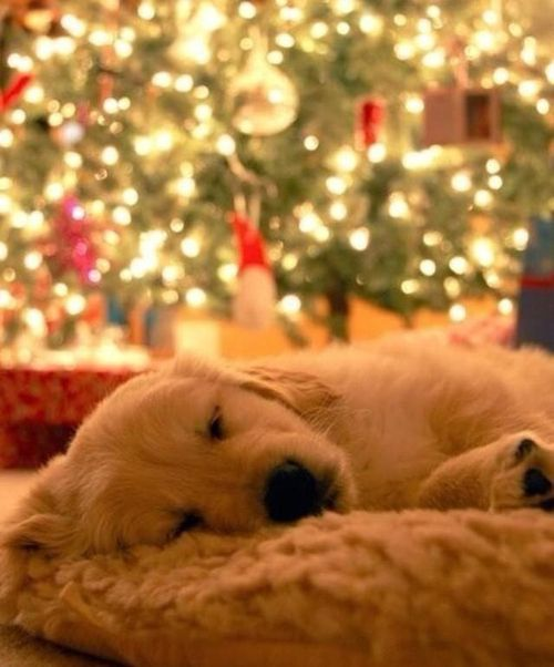 And don't forget the sleepy ones! | Community Post: 28 Pictures Of Golden Retriever Puppies That Will Brighten Your Day