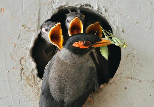 An Indian Myna holds a mantis in its beak to feed chicks in a nest ...