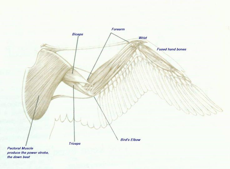 chicken wing diagram