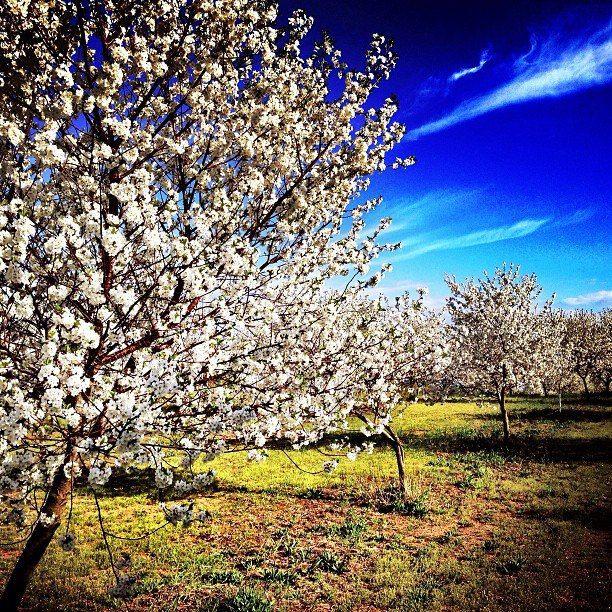 Michigan Apple Trees/Blossoms