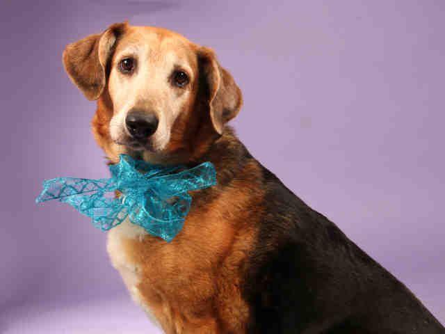 ... and Tan Coonhound/German Shepherd Dog mix - Saint Louis, MO. 8 yrs old