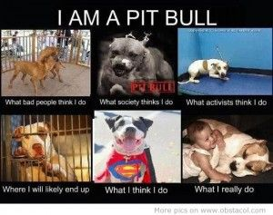 pit bull facts am a pitbull pitbull dog history facts stories photos