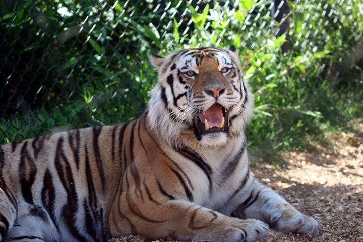 Happy Birthday!' to Mike the Tiger Happy