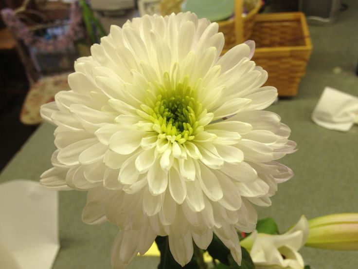 white cremone hearty full flower with beautifully