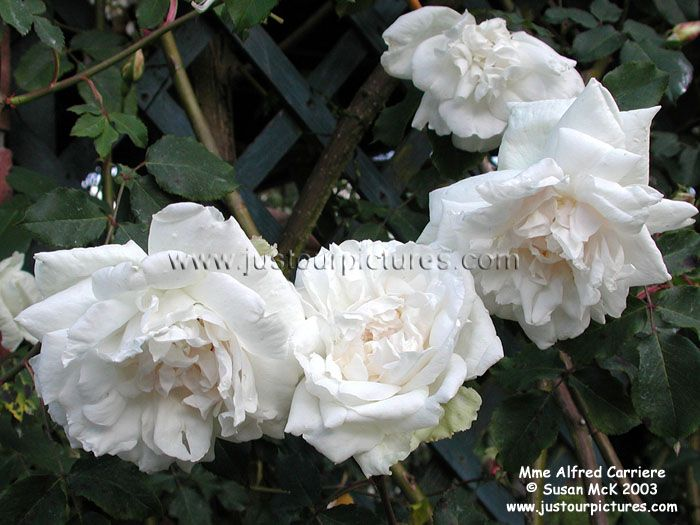 madame alfred carriere rose related keywords madame. Black Bedroom Furniture Sets. Home Design Ideas