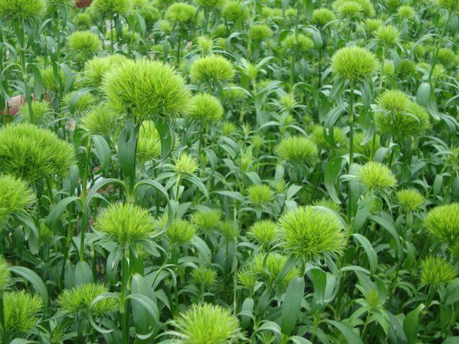 Dianthus barbatus Green Trick | Carnations | Pinterest