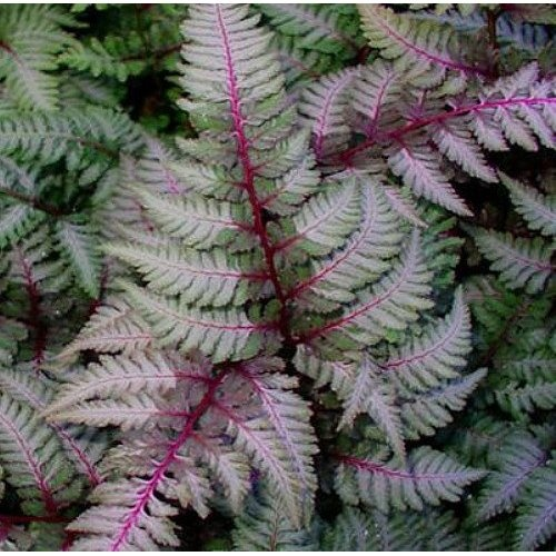 Regal Red Painted Fern